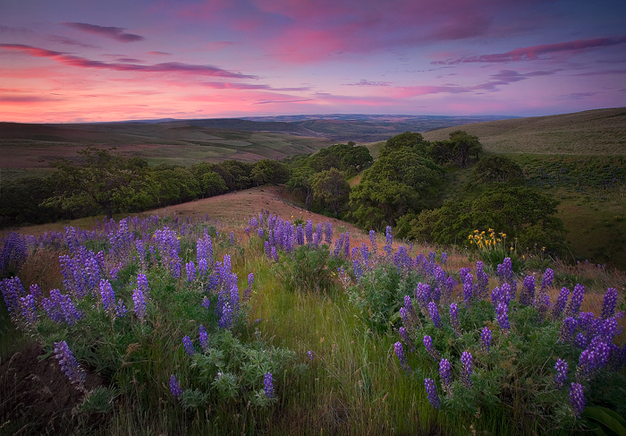 Lupine flowers in this beautiful oak-lined meadow complimented by a colorful sunrise in Washington's Columbia Hills.