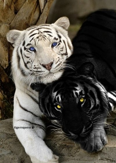 Two-Tigers-Photo-by-Tigersquest 15 juli 2015