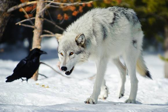 dec 4 2015 - 2 wolf en vogel